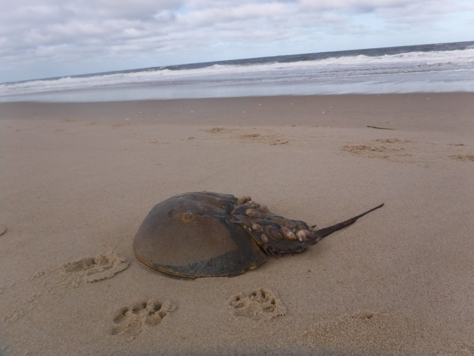 The horseshoe crab in its environment.